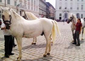 Профессиональная-верховая-езда-в-Вене4